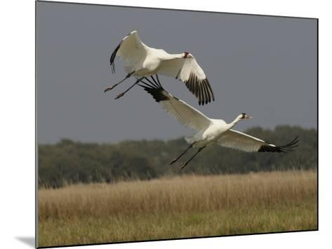 A Pair of Whooping Cranes Taking Off from Wintering Grounds-Klaus Nigge-Mounted Photographic Print