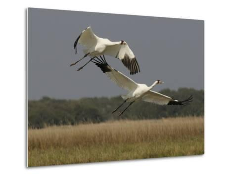 A Pair of Whooping Cranes Taking Off from Wintering Grounds-Klaus Nigge-Metal Print