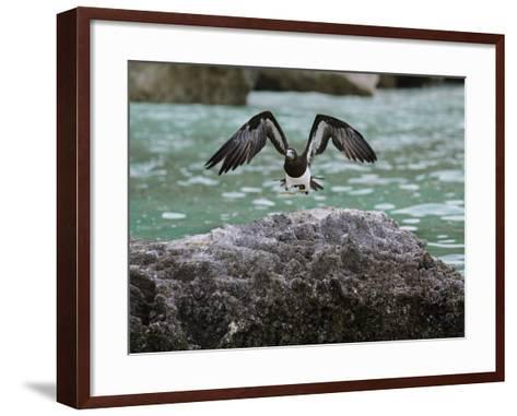 A Brown Booby Lands on the Western Coast of Socotra Island-Michael Melford-Framed Art Print