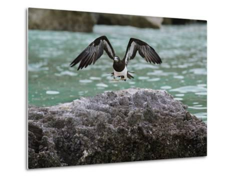 A Brown Booby Lands on the Western Coast of Socotra Island-Michael Melford-Metal Print