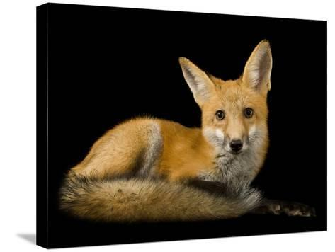 A Red Fox, Vulpes Vulpes-Joel Sartore-Stretched Canvas Print