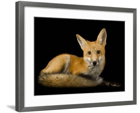 A Red Fox, Vulpes Vulpes-Joel Sartore-Framed Art Print