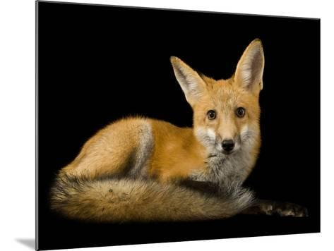 A Red Fox, Vulpes Vulpes-Joel Sartore-Mounted Photographic Print