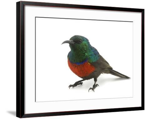A Male Northern Double-Collared Sunbird, Nectarinia Preussi-Joel Sartore-Framed Art Print