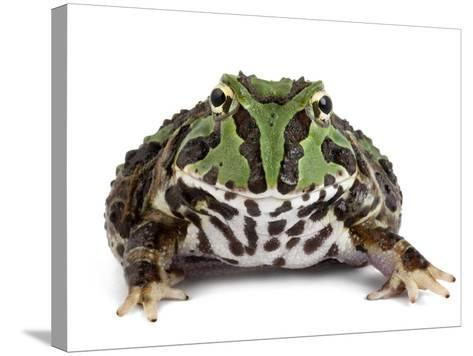 A Stolzmann's Horned Frog, Ceratophrys Stolzmanni-Joel Sartore-Stretched Canvas Print