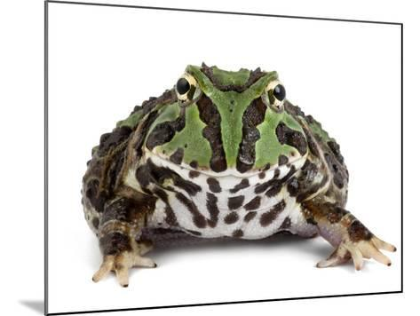 A Stolzmann's Horned Frog, Ceratophrys Stolzmanni-Joel Sartore-Mounted Photographic Print