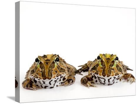 Juvenile Stolzmann's Horned Frogs, Ceratophrys Stolzmanni-Joel Sartore-Stretched Canvas Print