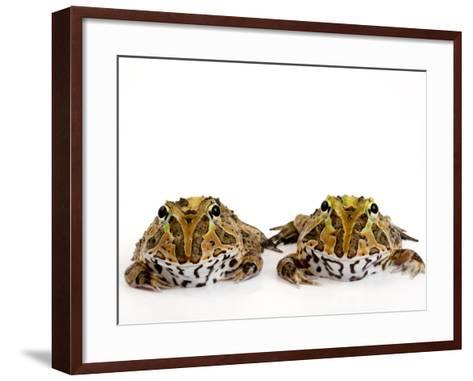 Juvenile Stolzmann's Horned Frogs, Ceratophrys Stolzmanni-Joel Sartore-Framed Art Print