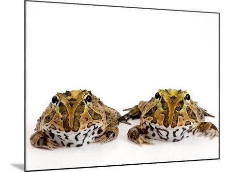 Juvenile Stolzmann's Horned Frogs, Ceratophrys Stolzmanni-Joel Sartore-Mounted Photographic Print
