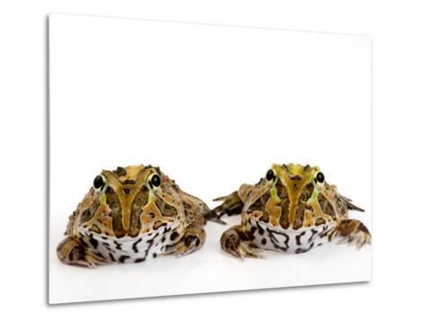 Juvenile Stolzmann's Horned Frogs, Ceratophrys Stolzmanni-Joel Sartore-Metal Print