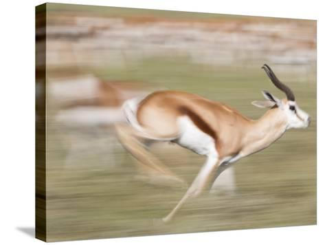 A Springbok, Antidorcas Marsupialis, Running Past a Herd-Roy Toft-Stretched Canvas Print