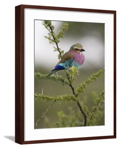 Portrait of a Lilac-Breasted Roller, Coracias Caudata-Roy Toft-Framed Art Print