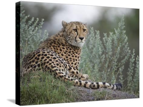 Portrait of a Cheetah, Acinonyx Jubatus, Resting-Roy Toft-Stretched Canvas Print