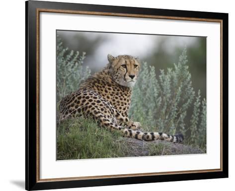 Portrait of a Cheetah, Acinonyx Jubatus, Resting-Roy Toft-Framed Art Print