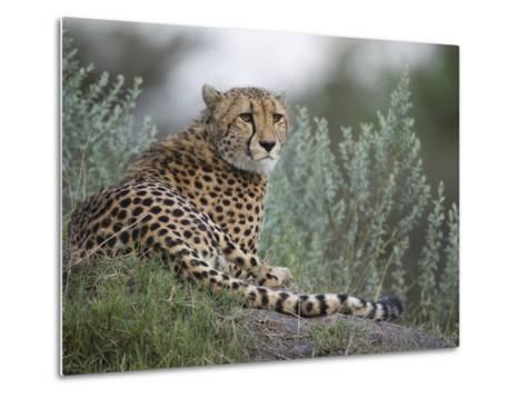 Portrait of a Cheetah, Acinonyx Jubatus, Resting-Roy Toft-Metal Print