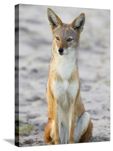Portrait of a Black-Backed Jackal, Canis Mesomelas-Roy Toft-Stretched Canvas Print