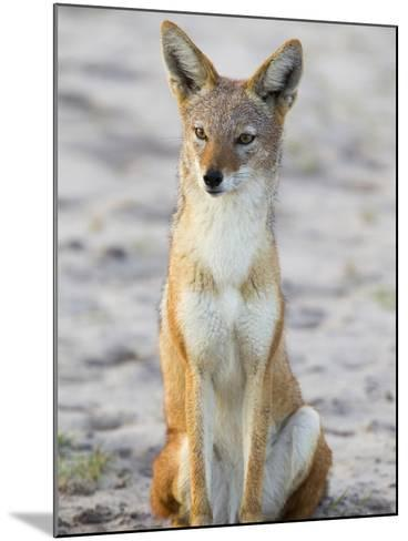 Portrait of a Black-Backed Jackal, Canis Mesomelas-Roy Toft-Mounted Photographic Print