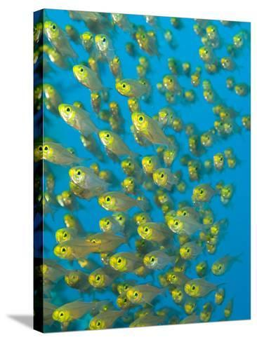 A School of Golden Sweeper Fish, Parapriacanthus Ransonneti-Paul Sutherland-Stretched Canvas Print