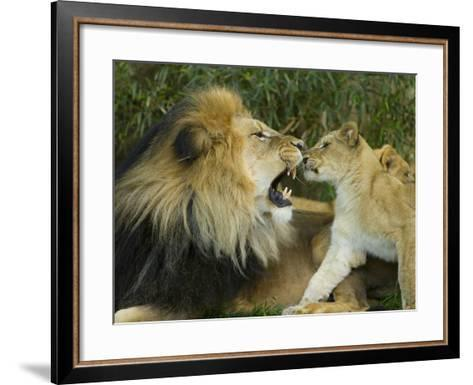 Male African Lion and Cub, Panthera Leo, Socializing in Zoo Enclosure-Paul Sutherland-Framed Art Print