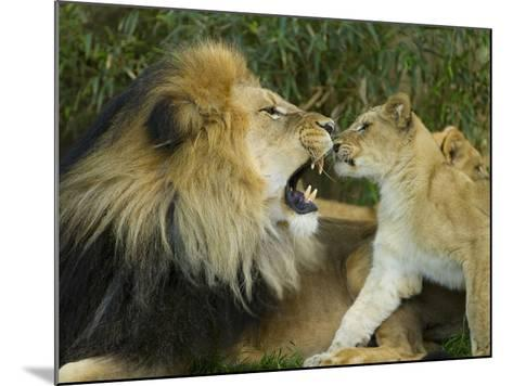 Male African Lion and Cub, Panthera Leo, Socializing in Zoo Enclosure-Paul Sutherland-Mounted Photographic Print
