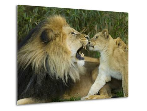 Male African Lion and Cub, Panthera Leo, Socializing in Zoo Enclosure-Paul Sutherland-Metal Print