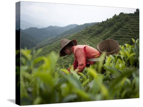Picking Tea Leaves on a Puer Tea Estate in the Yunnan Province-Alex Treadway-Stretched Canvas Print