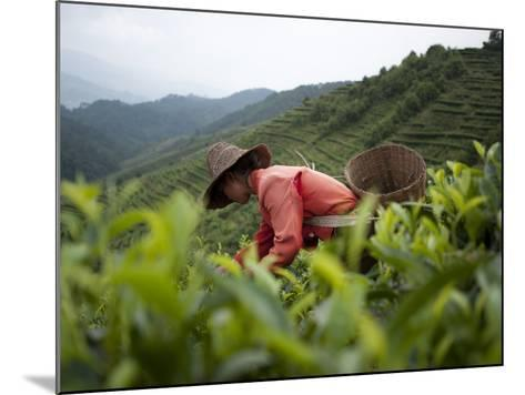 Picking Tea Leaves on a Puer Tea Estate in the Yunnan Province-Alex Treadway-Mounted Photographic Print