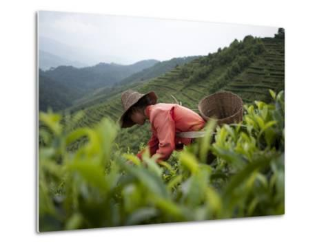 Picking Tea Leaves on a Puer Tea Estate in the Yunnan Province-Alex Treadway-Metal Print