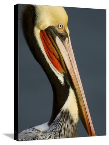 Close Up Portrait of a Brown Pelican, Pelecanus Occidentalis-Tim Laman-Stretched Canvas Print
