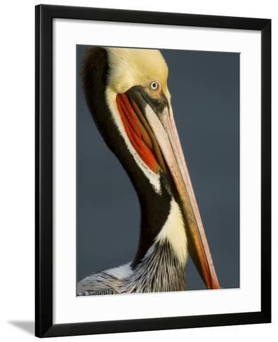 Close Up Portrait of a Brown Pelican, Pelecanus Occidentalis-Tim Laman-Framed Art Print