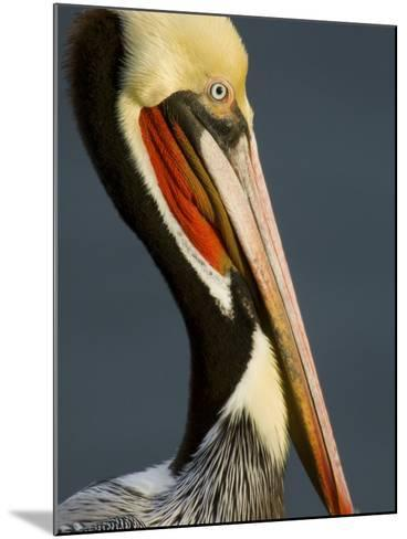 Close Up Portrait of a Brown Pelican, Pelecanus Occidentalis-Tim Laman-Mounted Photographic Print