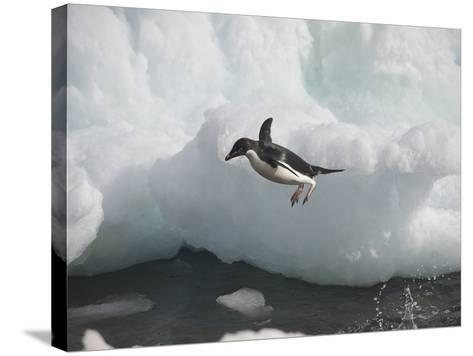 An Adelie Penguin Jumping into Water from an Iceberg-Bob Smith-Stretched Canvas Print