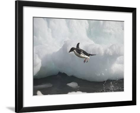 An Adelie Penguin Jumping into Water from an Iceberg-Bob Smith-Framed Art Print