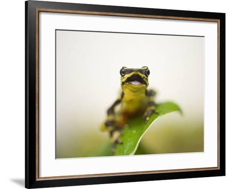 A Limon Harlequin Frog, One of the Rarest Amphibians in the World-Joel Sartore-Framed Art Print