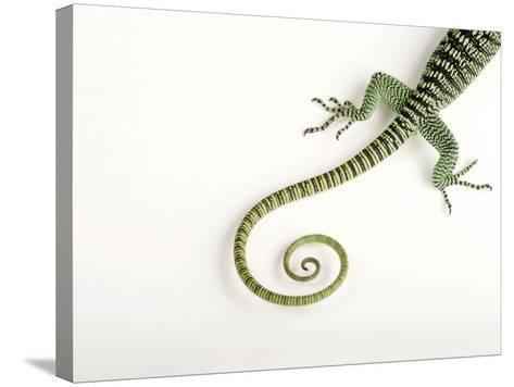 A Rosenberg's Monitor Tail, Varanus Rosenbergi, at the Fort Worth Zoo-Joel Sartore-Stretched Canvas Print