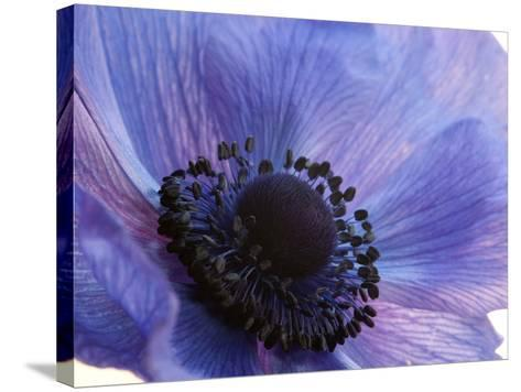 Close Up of a Blue Anemone Flower-Darlyne A^ Murawski-Stretched Canvas Print