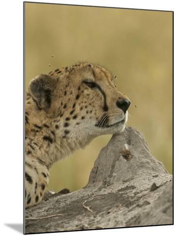 A Cheetah, Acinonyx Jubatus, with Flies Buzzing About it's Head-Bob Smith-Mounted Photographic Print