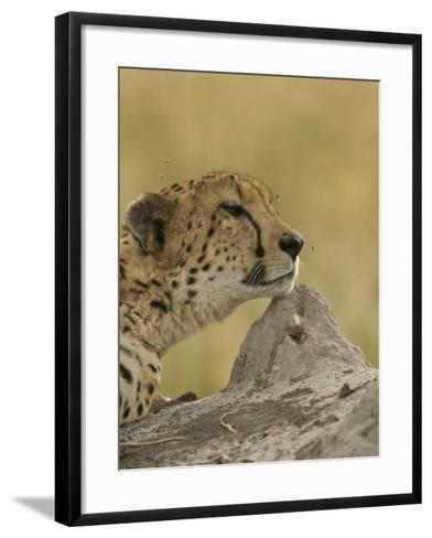 A Cheetah, Acinonyx Jubatus, with Flies Buzzing About it's Head-Bob Smith-Framed Art Print