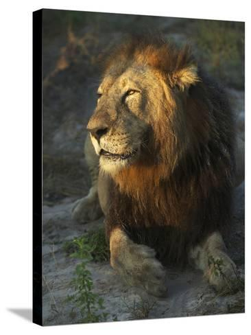 Portrait of a Lion, Panthera Leo, Resting in Late Evening Sunlight-Bob Smith-Stretched Canvas Print