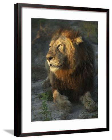 Portrait of a Lion, Panthera Leo, Resting in Late Evening Sunlight-Bob Smith-Framed Art Print