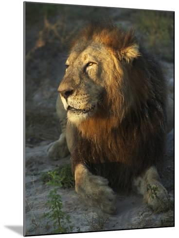 Portrait of a Lion, Panthera Leo, Resting in Late Evening Sunlight-Bob Smith-Mounted Photographic Print