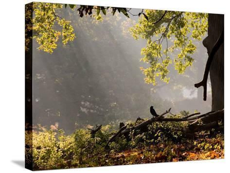 A Western Jackdaw, Corvus Monedula, in a Misty Autumn Landscape-Alex Saberi-Stretched Canvas Print
