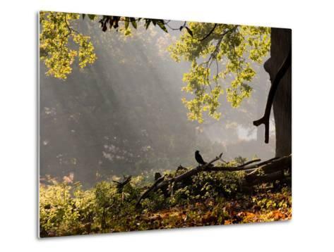 A Western Jackdaw, Corvus Monedula, in a Misty Autumn Landscape-Alex Saberi-Metal Print