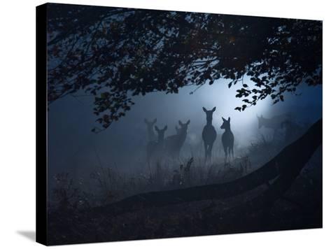 Red Deer, Cervus Elaphus, Gathering on a Misty Morning-Alex Saberi-Stretched Canvas Print