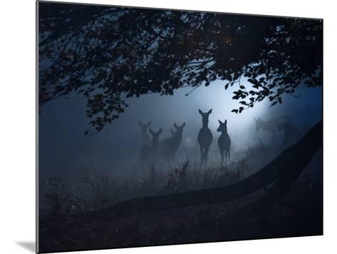Red Deer, Cervus Elaphus, Gathering on a Misty Morning-Alex Saberi-Mounted Photographic Print