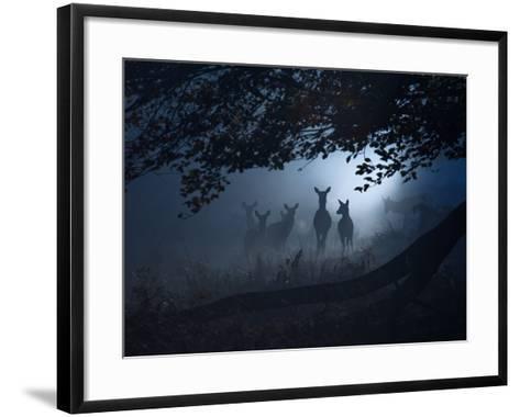 Red Deer, Cervus Elaphus, Gathering on a Misty Morning-Alex Saberi-Framed Art Print