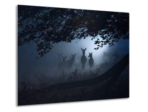 Red Deer, Cervus Elaphus, Gathering on a Misty Morning-Alex Saberi-Metal Print