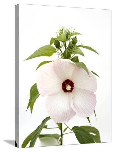 A Pink Tinged Hibiscus Flower, Malvoideae Hibisceae-Joel Sartore-Stretched Canvas Print