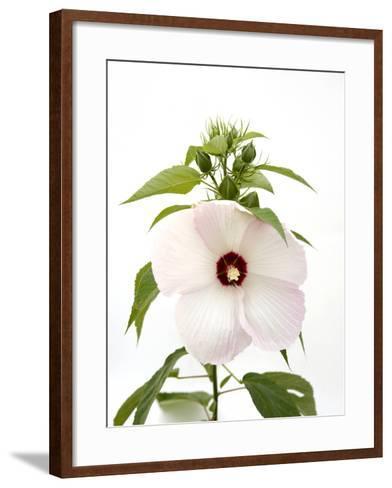 A Pink Tinged Hibiscus Flower, Malvoideae Hibisceae-Joel Sartore-Framed Art Print