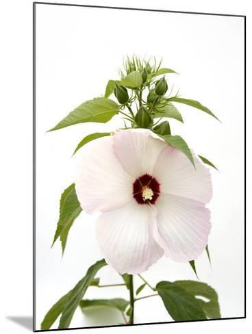 A Pink Tinged Hibiscus Flower, Malvoideae Hibisceae-Joel Sartore-Mounted Photographic Print